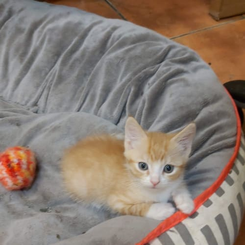 Rescue  kittens available for pre adoption - Domestic Short Hair Cat