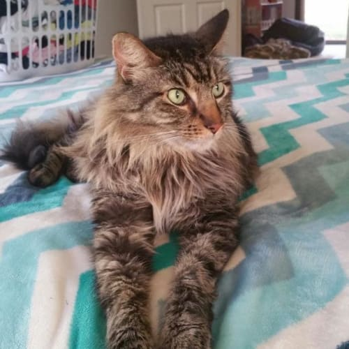 Baloo - Domestic Short Hair Cat