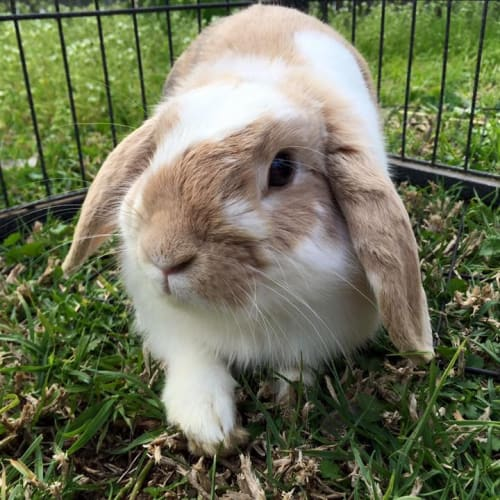 Rambo  - Lop Eared Rabbit