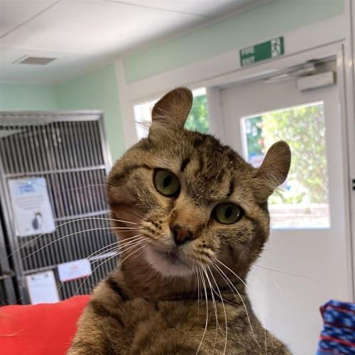 Tom Thumb - Domestic Short Hair Cat
