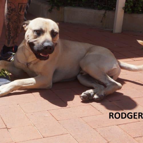 Rodger - Mastiff x Amstaff Dog