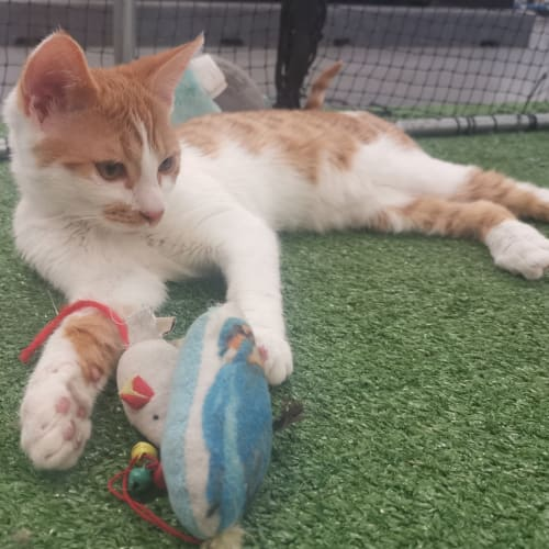 Tyrion @ Petstock Penrith - Domestic Short Hair Cat