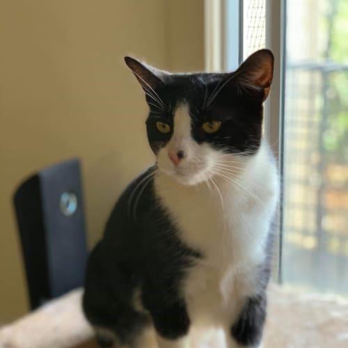 Cerise  - Domestic Short Hair Cat
