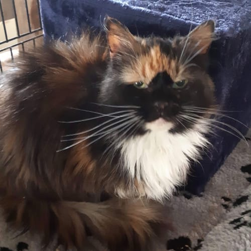 Bindi - Domestic Medium Hair Cat