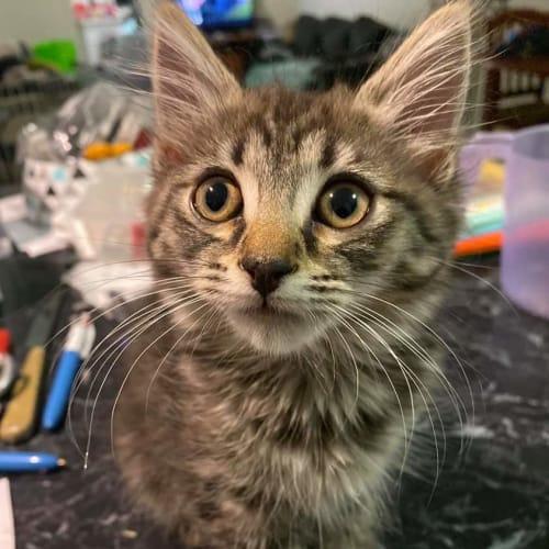 Gouda - Domestic Short Hair Cat