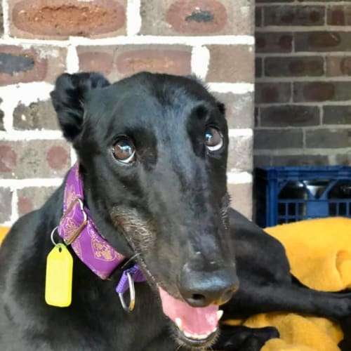 Tiggs (In Foster) - Greyhound Dog