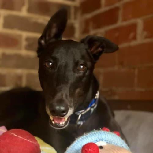 Archer - Greyhound Dog