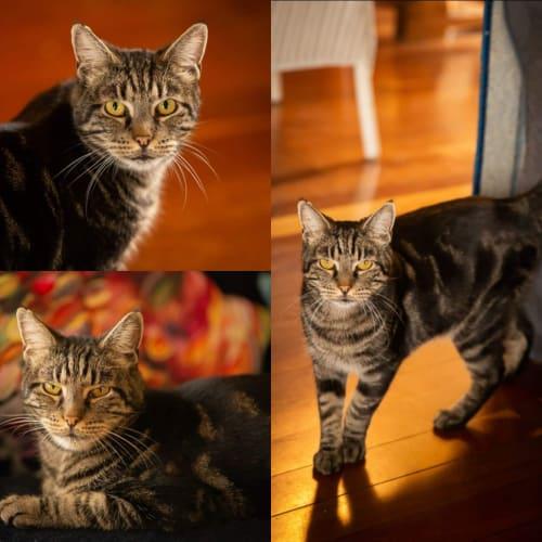 AC0713 - Poseidon - Domestic Short Hair Cat