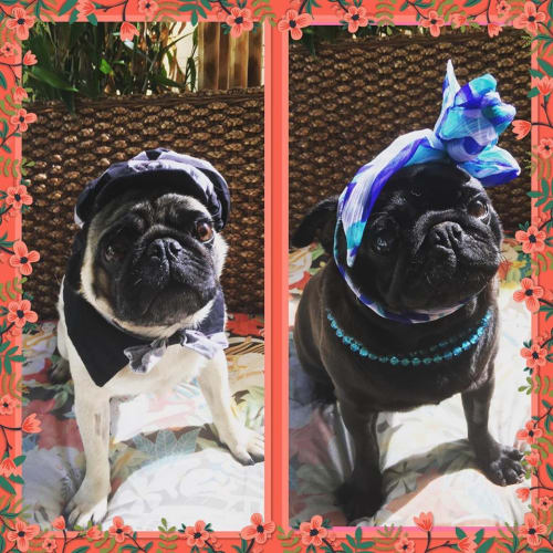 Johnson and Whittney - Pug Dog