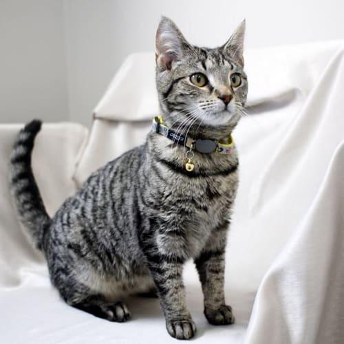 Susie - Domestic Short Hair Cat