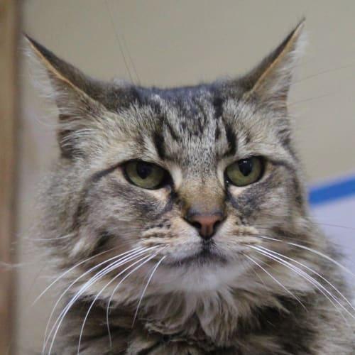 Mau Mau - Domestic Medium Hair Cat