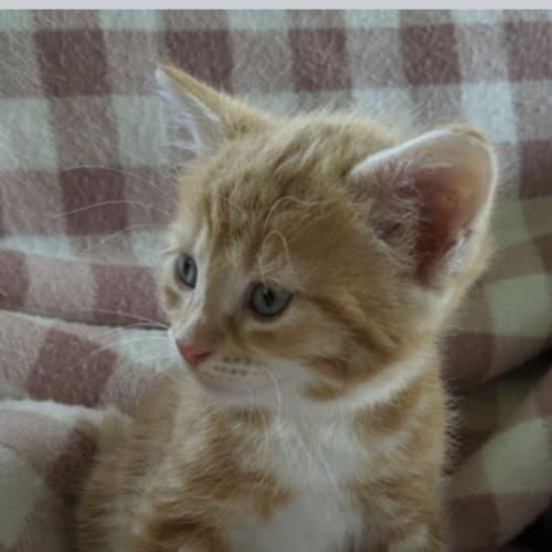 Itza - Domestic Medium Hair Cat