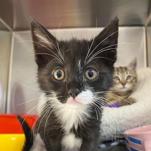 Zoomzilla - Domestic Short Hair Cat
