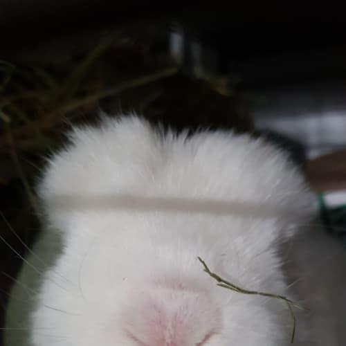 Stevie - Dwarf lop Rabbit