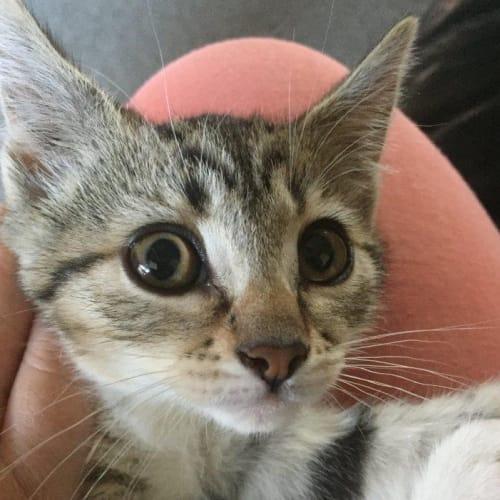Holly - Domestic Short Hair Cat