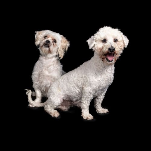 Attina & Flounder - Poodle x Maltese Dog