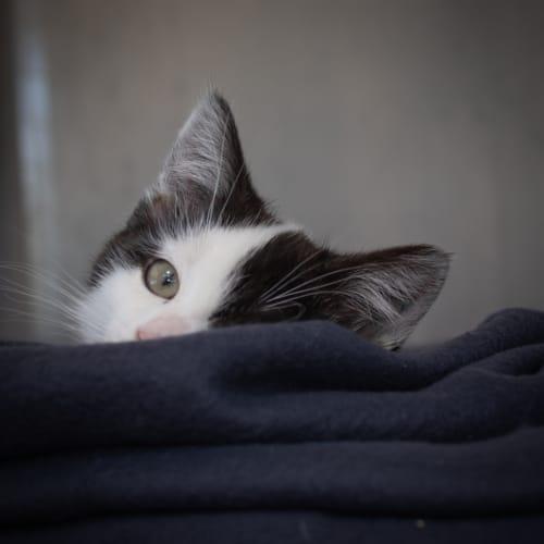 Dizzy - Domestic Short Hair Cat