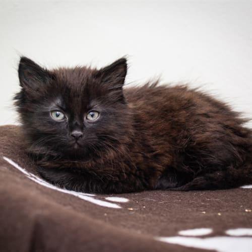 Gordo - Domestic Medium Hair Cat