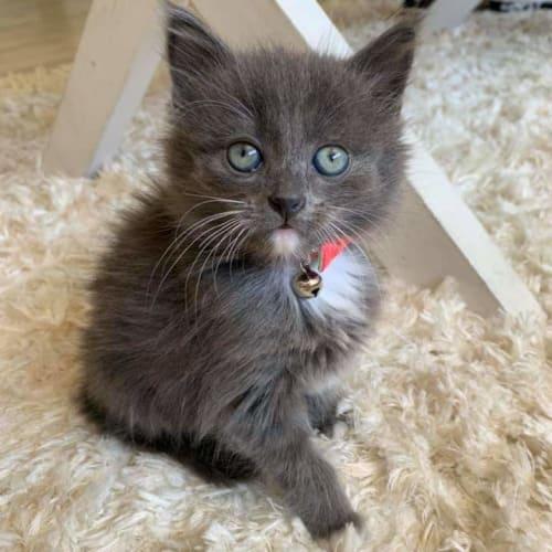 Rylee 💕 - Domestic Medium Hair Cat