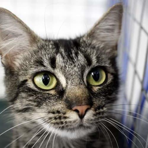 Olive - Domestic Medium Hair Cat
