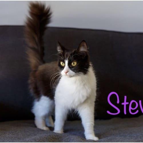 Stevie  - Domestic Medium Hair Cat