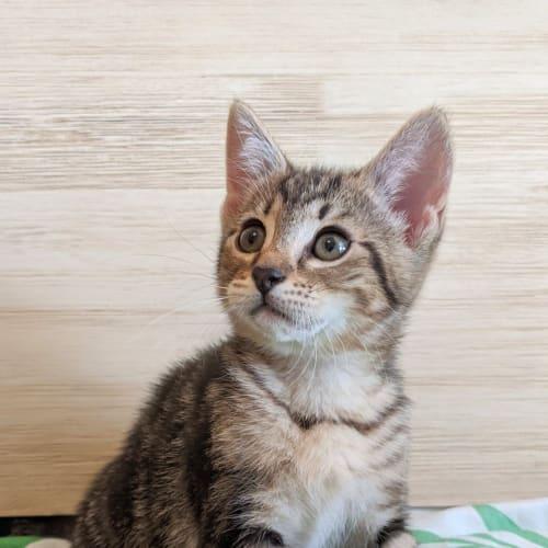 Caitlan - Domestic Medium Hair Cat
