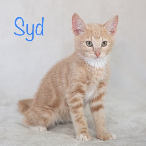 Syd - Domestic Medium Hair Cat