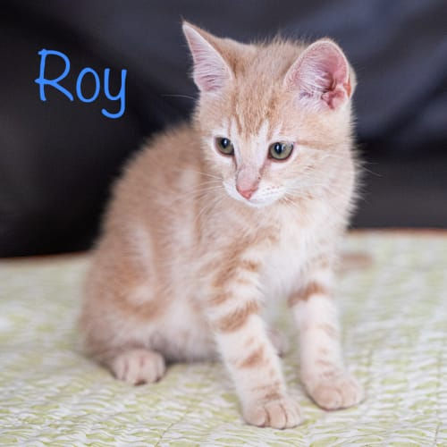 Roy - Domestic Medium Hair Cat