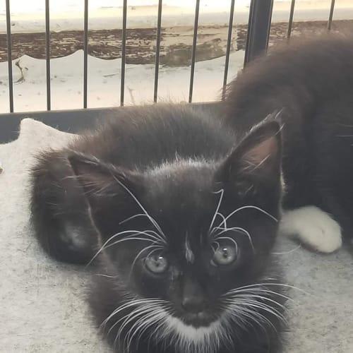 Shiva - Domestic Short Hair Cat