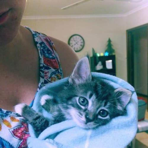 Motley - Domestic Short Hair Cat