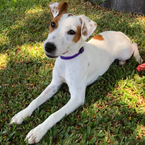 Allie - Jack Russell Terrier Dog