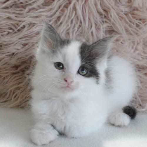Billie - Domestic Medium Hair Cat