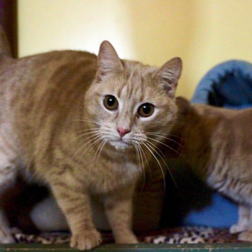 Honey & Tiger - Domestic Short Hair Cat