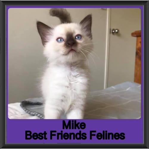 Mike - Ragdoll Cat