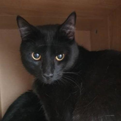 Spencer - Meet me at Neko HQ Preston  - Domestic Short Hair Cat