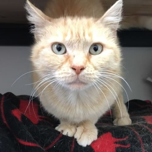 Honey - Meet me at Neko HQ Preston  - Domestic Short Hair Cat