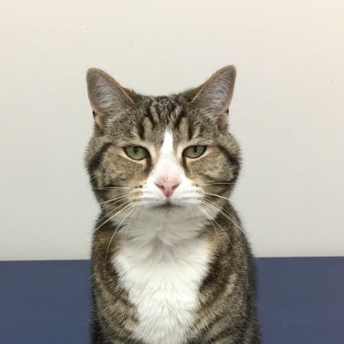 Jazzy - Meet me at Neko HQ Preston  - Domestic Short Hair Cat