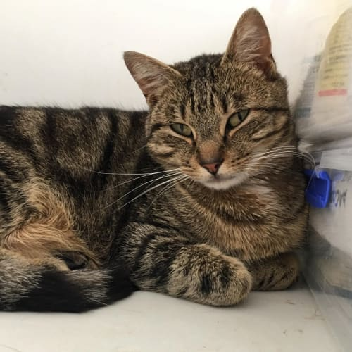 Rocky - Meet me at Neko HQ Preston  - Domestic Short Hair Cat