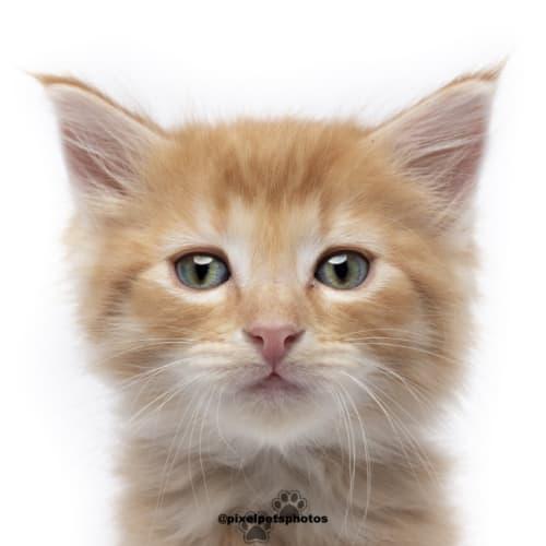 Ed Sheeran  - Domestic Medium Hair Cat