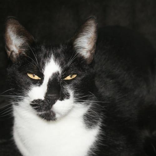 Rex - Domestic Short Hair Cat