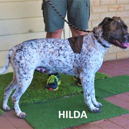 Hilda - Red Heeler x German Shorthaired Pointer Dog
