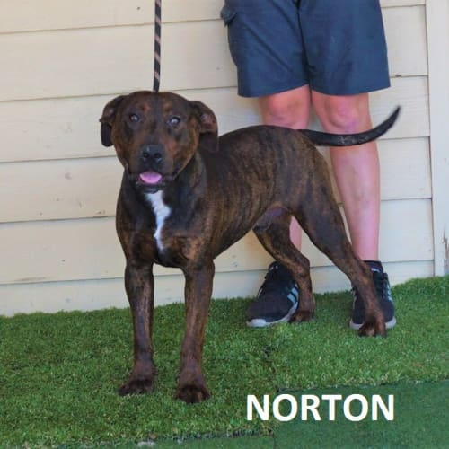 Norton - Staffy Dog