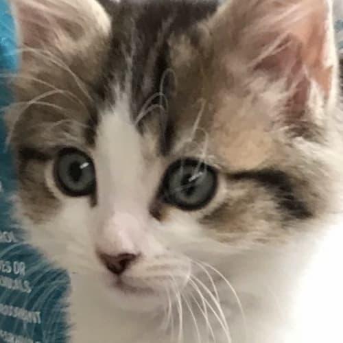 Ziggy 💙 - Domestic Medium Hair Cat