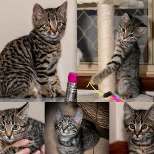 1871/1859/1858 - Kristoff Sven & Olaf  - Domestic Short Hair Cat