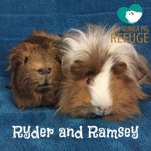 Ryder and Ramsey (indoor home only) - Peruvian x Smooth Hair Guinea Pig