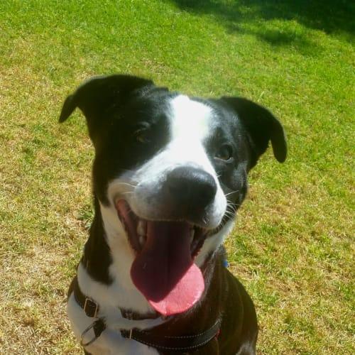 Billy - Staffordshire Bull Terrier X Dog