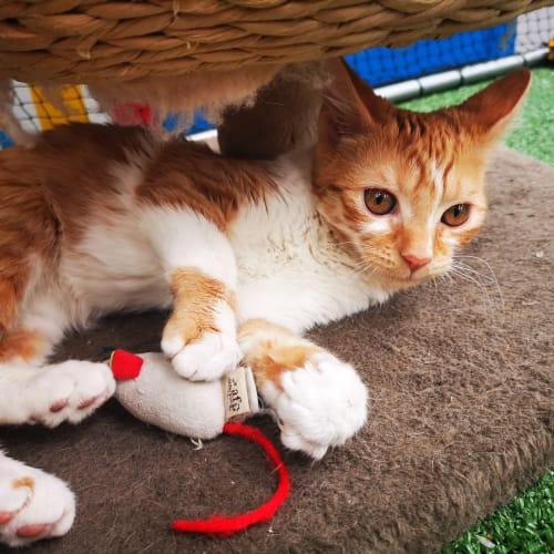 Theon @ Petstock Penrith - Domestic Short Hair Cat