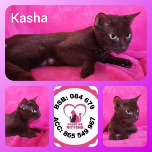 Kasha - Domestic Short Hair Cat
