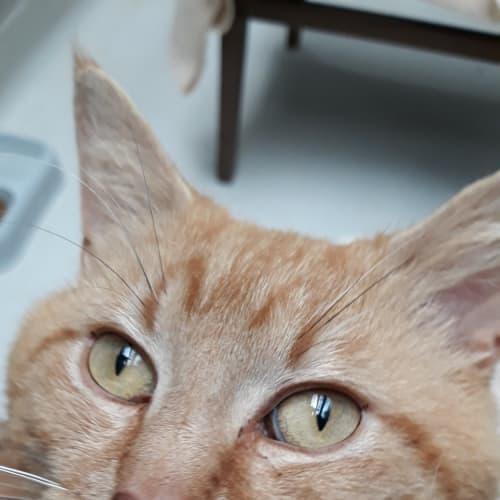 Dougie - Domestic Short Hair Cat