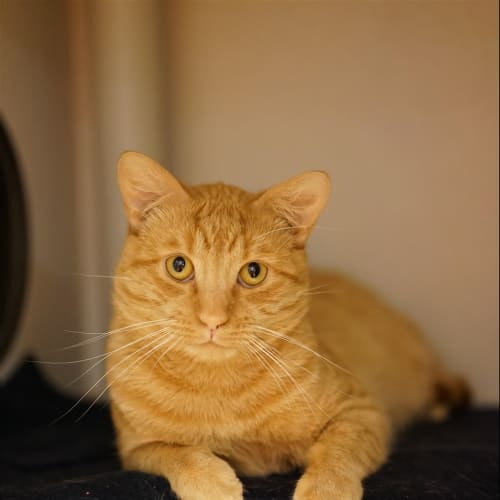 Rolly - Domestic Short Hair Cat